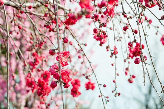 桃の花と菜の花(桜とか春の花でも可)がお雛さまの 脇に飾られている写真